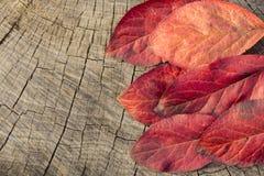 Hoja roja del otoño Foto de archivo
