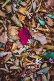 Hoja roja del otoño Imagen de archivo libre de regalías