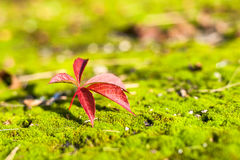 Hoja roja del otoño en musgo verde Fotos de archivo libres de regalías