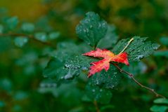 Hoja roja del otoño en un fondo verde Foto de archivo