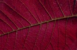 Hoja roja del Poinsettia Fotos de archivo libres de regalías
