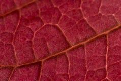 Hoja roja del Poinsettia Fotografía de archivo libre de regalías