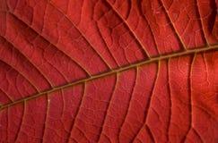 Hoja roja del Poinsettia Fotografía de archivo