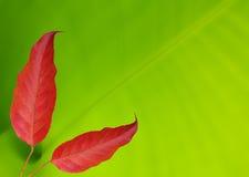 Hoja roja en fondo verde Fotos de archivo libres de regalías