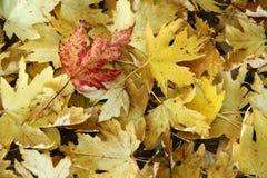 Hoja roja en la hoja amarilla Imagen de archivo libre de regalías