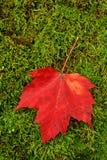 Hoja roja en musgo Fotos de archivo