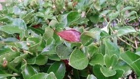 Hoja roja en un arbusto verde imagen de archivo libre de regalías
