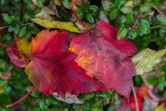 Hoja roja en un arbusto verde Foto de archivo