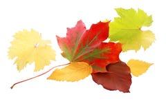Hoja roja vibrante del otoño Foto de archivo libre de regalías