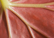 Hoja roja viva Imagen de archivo libre de regalías