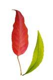 Hoja roja y verde Imagen de archivo libre de regalías
