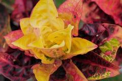 Hoja roja y verde de Rushfoil o del Croton Imágenes de archivo libres de regalías