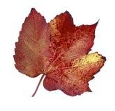 Hoja rojo marrón del otoño en estudio Foto de archivo libre de regalías