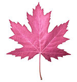 Hoja rosada Foto de archivo libre de regalías