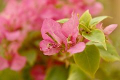 Hoja rosada Fotografía de archivo libre de regalías