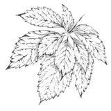 Hoja salvaje de la uva del vector del drenaje de la mano Ilustración del vector Fotos de archivo libres de regalías