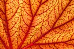 Hoja sanguínea del geranio Fotos de archivo libres de regalías