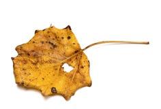 Hoja seca del álamo temblón de temblor del otoño Foto de archivo