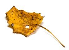 Hoja seca del álamo temblón de temblor del otoño con el agujero Imagenes de archivo