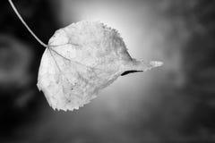 Hoja seca del abedul del otoño en un fondo borroso Imagenes de archivo
