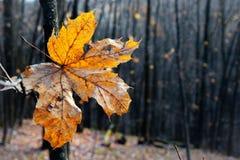 Hoja seca del otoño Imagen de archivo libre de regalías