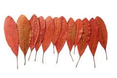 Hoja seca del otoño rojo Fotos de archivo