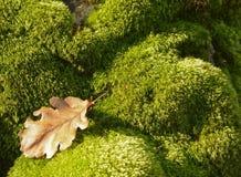 Hoja seca en musgo verde Fotos de archivo