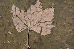 Hoja seca presionada en la tierra en el fango fotos de archivo