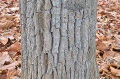 Hoja seca y árbol grande Fotos de archivo libres de regalías