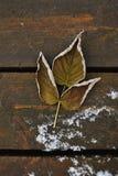 Hoja secada de la frambuesa Imagen de archivo