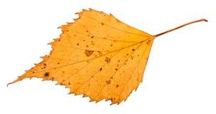 hoja secada del árbol de abedul aislada en blanco Imagen de archivo