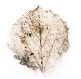 Hoja secada del árbol de cal Imagen de archivo libre de regalías