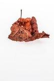 Hoja secada del otoño en blanco Imagen de archivo libre de regalías