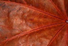 Hoja secada macro Foto de archivo libre de regalías