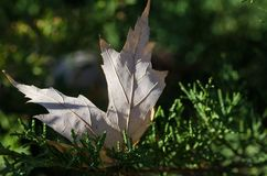 Hoja secada quebradiza de Autumn Amid los árboles de hoja perenne fotos de archivo libres de regalías