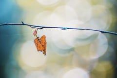 Hoja solitaria seca del abedul amarillo en una rama Imagen de archivo libre de regalías