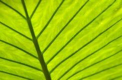 Hoja tropical Imagen de archivo