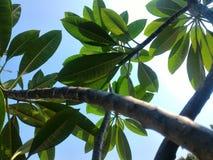Hoja tropical Fotos de archivo libres de regalías