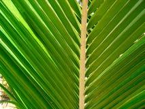 Hoja tropical de la palmera Fotos de archivo