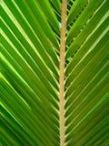Hoja tropical de la palmera Imagen de archivo libre de regalías