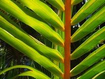 Hoja tropical de la palmera Fotos de archivo libres de regalías