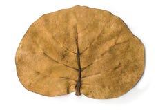 Hoja tropical del árbol Imagenes de archivo