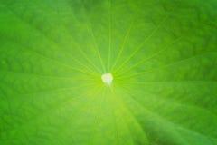 Hoja una de Lotus Imagen de archivo libre de regalías