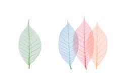 Hoja verdadera con la vena del detalle y varios colores Foto de archivo libre de regalías