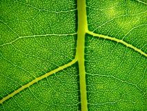 Hoja verde Fotografía de archivo libre de regalías