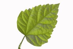 Hoja verde. Fotografía de archivo