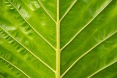 hoja verde Fotografía de archivo