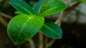 hoja verde Imagen de archivo libre de regalías