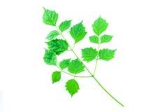 Hoja verde aislada Foto de archivo libre de regalías
