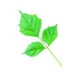 Hoja verde aislada Imágenes de archivo libres de regalías